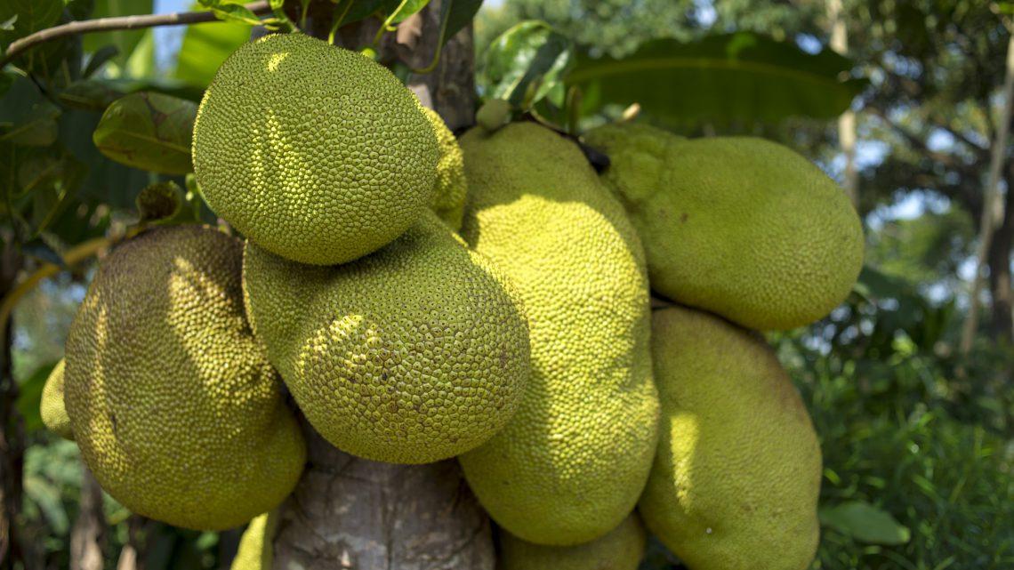 Is Jackfruit het vlees voor de veganist?